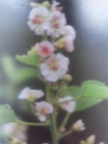6月23日の誕生花・ビロードタチアオイ