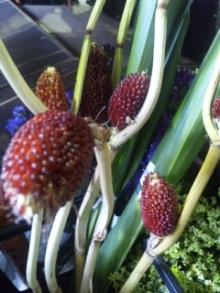 8月4日の誕生花・玉蜀黍(トウモロコシ)