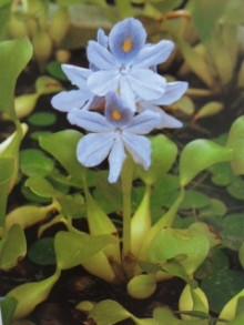 9月1日の誕生花・布袋葵(ホテイアオイ)