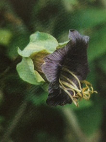 9月2日の誕生花・ツルコベア