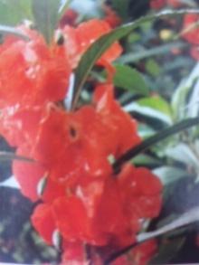 9月8日の誕生花・鳳仙花(ホウセンカ)