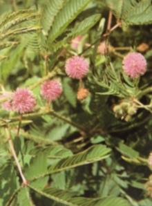 9月18日の誕生花・含羞草(オジギソウ)