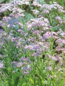 10月16日の誕生花・紫苑(シオン)