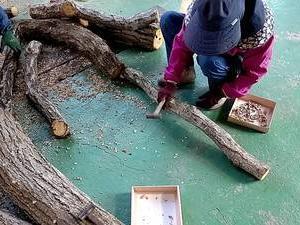 原木しいたけの種コマ打込み