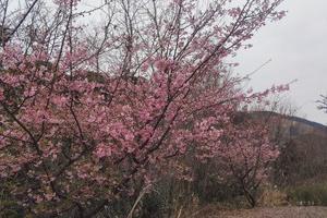 工場の河津桜も見頃です