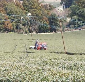 今週の農作業は茶園のナラシ