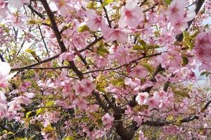 工場敷地内でも満開の桜