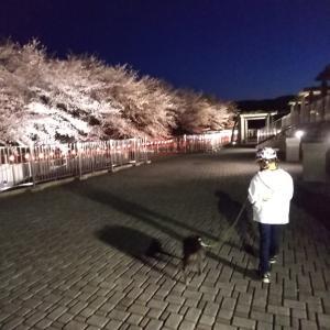 寒の戻り。桜の写真で暖をとる~