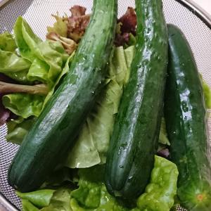 菜園の野菜
