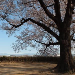 行田市 さきたま古墳の満開の桜 その3