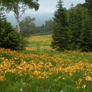 思い出の撮影行 東館山高山植物園のキスゲ