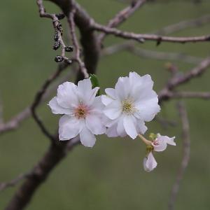 調布市 野川公園の異変 桜が咲いた!