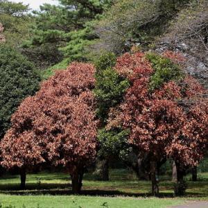 調布市 野川公園の異変 枯れ木が増えた!