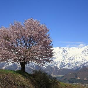 過去写真から 信州桜巡り 野平の一本桜