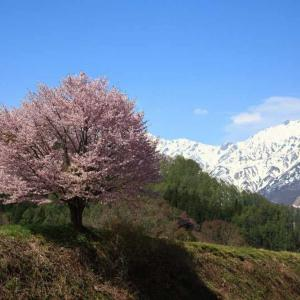 過去写真から 信州桜巡り 野平の一本桜 もう一回