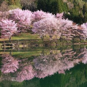 過去写真から 信州桜巡り 中綱湖の大山桜