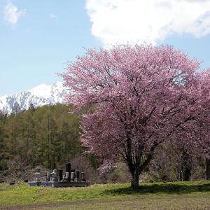 過去写真から 信州桜巡り 新行の一本桜