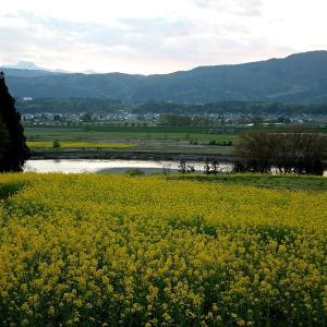 過去写真から 信州桜巡り 飯山の菜の花公園