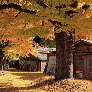 過去写真から 新潟・五泉市 蛭野地区の銀杏 前半