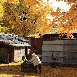 過去写真から 新潟・五泉市 蛭野地区の銀杏 後半