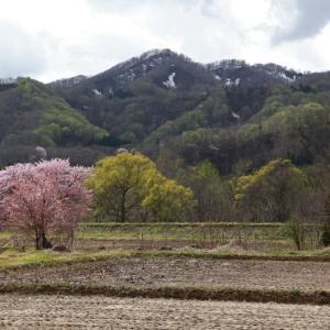 西和賀町 沢内 弁天の一本桜