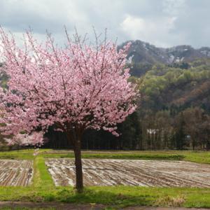 西和賀町 沢内 弁天島の桜 前半