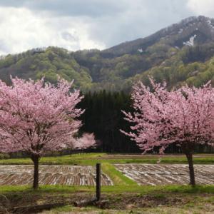 西和賀町 沢内 弁天島の桜 後半