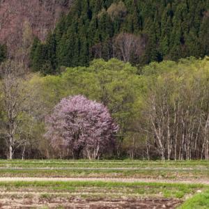 西和賀町 沢内 新町の一本桜