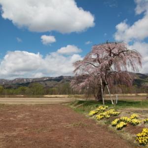 西和賀町 沢内 鍵沢の田園桜