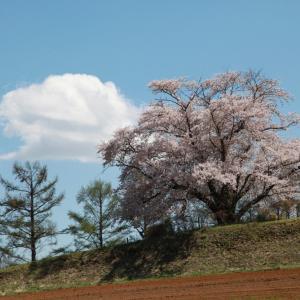 八幡平市 為内の一本桜