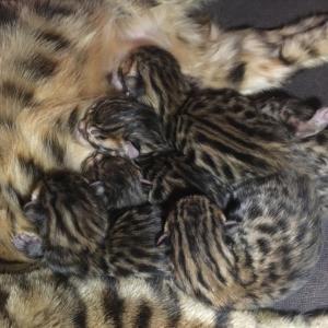 (再掲)ベンガルの仔猫 生まれたて