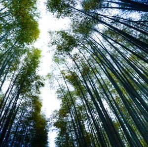 誰もいない嵯峨野「竹林の小径」