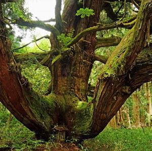 上古賀の一本杉