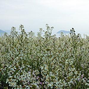 琵琶湖湖畔のハマダイコン