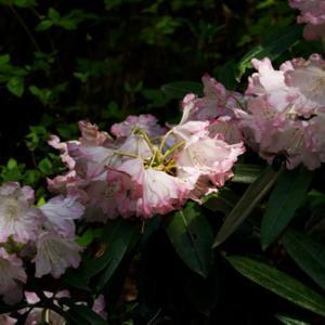 花が見かけない鎌掛谷ホンシャクナゲ2019年