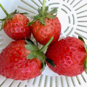 2020 イチゴの収穫