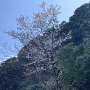 山桜 ~日南市宮浦2020