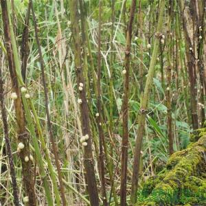 カタツムリの木