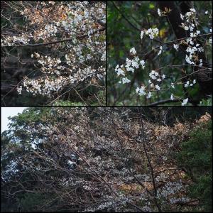 山桜 開花