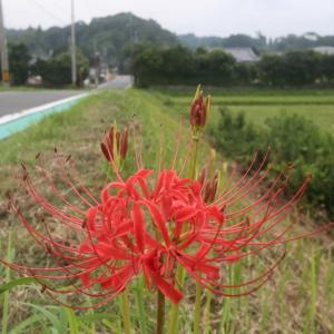 彼岸花 開花
