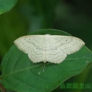 ウスキクロテンヒメシャク 梅雨の合間の翅休め