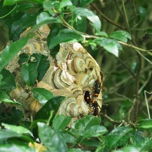 コガタスズメバチ 巣