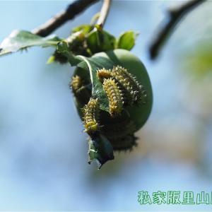 ヒメクロイラガ 幼虫 完食 2020年夏