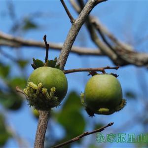 ヒメクロイラガ 幼虫 柿の実を食す