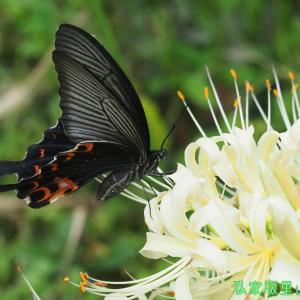 クロアゲハ(♀) ヒガンバナで吸蜜 2020年初秋