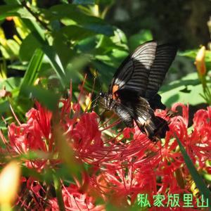 ナガサキアゲハ 彼岸花で吸蜜2020年