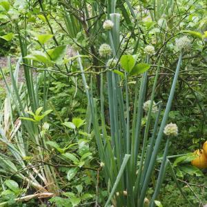庭のねぎでチヂミを作りました