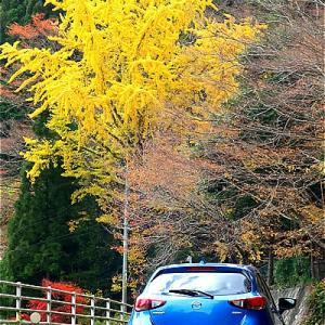 福島古殿町 古殿八幡神社の大イチョウがキレイ