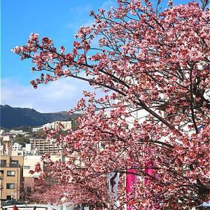 熱海糸川 あたみ桜がキレイ