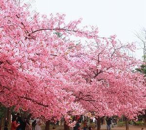 武蔵小山 林試の森公園の河津桜がキレイ